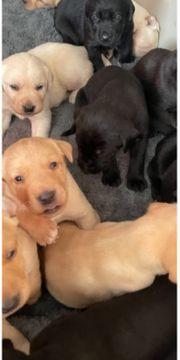 Labrador Mischlinge Welpen