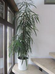 Zimmerpflanze Feigenbaum