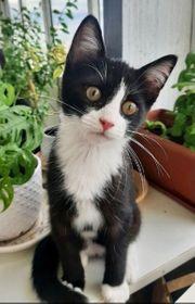 Kätzchen komplett geimpft gechipt