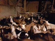 Ziegen suchen ein Zuhause