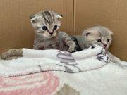 scottish fold kitten weiblich