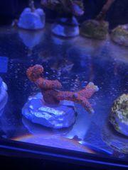 Koralle Montipora Bubblegum
