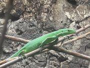 Zuchtgruppe Smaragdlangschwanzechsen