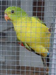 Rotflügelsittich in gelb zu Verkaufen