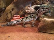 Leopardgecko Weibchen Mack Snow Lavender