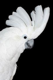 Suche Weißenhaubenkakadu
