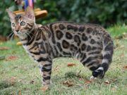 Bengal Kitten aus Zucht von