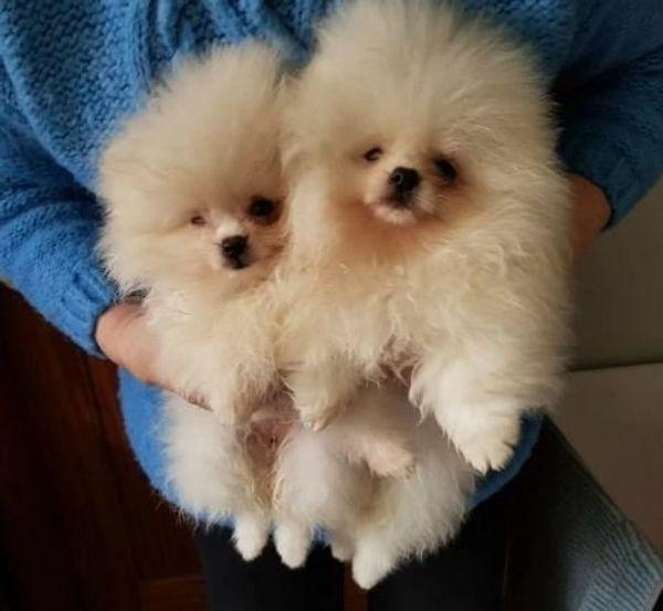Zwergspitz Pomeranian Welpen Kaufen In Munchen Hunde Kaufen Und Verkaufen Uber Private Kleinanzeigen