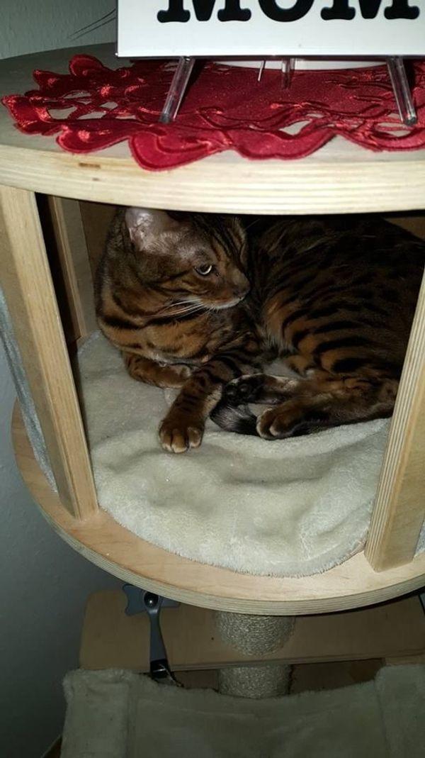 Verkaufe Bengal Katze