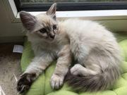 2 zuckersüße heilige Birma Kitten