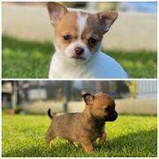 Chihuahua Welpen abgabebereit