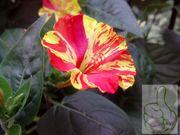 Wunderblume Rot - Gelb 10 frische