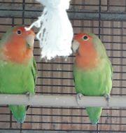 Agaporniden Love Birds