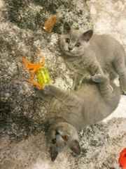 Reinrassige Bkh Kitten in Dunkel