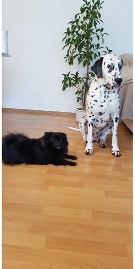 Hunde - Dalmatien Dechrüde Ich freue mich