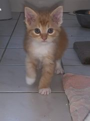 Limitiertes Red Tabby Maine Coon