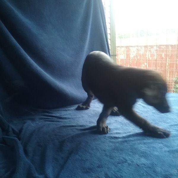 Wunderschöne Labrador x Große Münsterländer-Mix