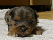Yorkshire terrier Merle Farbe mit