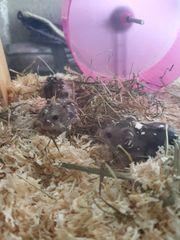 Campbell hamster dürfen bald ausziehen