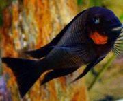 Tanganjika Tropheus sp mpimbwe red