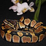 Python Regius Calico