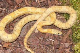 Reptilien, Terraristik - 1 0 Caramel Sunkissed het
