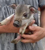 Wollschweinzuchtsauen Mangaliza