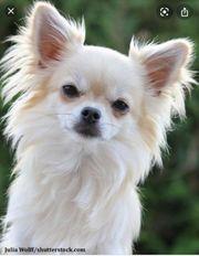 Mini Chihuahua Langhaar Hündin GESUCHT