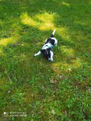 Jack Russell Mischling Welpe