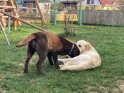 Labrador Golden Retriever Wurfankündigung
