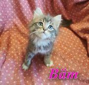 Edelmix Kitten Ragdoll sibirische Waldkatze