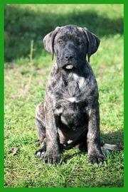 Dogo Canario Welpen Spanische Dogge
