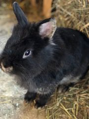 Löwenkopfzwergkaninchen Kaninchen weiblich schwarz ca