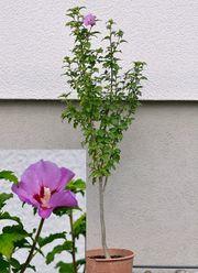 Hibiskus 100 cm hoch Garteneibisch