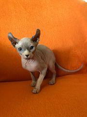 Sphynx Elfen Kitten