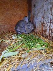 Kaninchen Mix Deutsche Riesen und