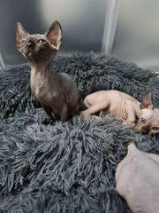 Sphynx Kitten Männchen