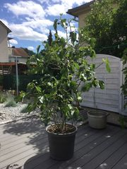Feigenbaum Feigenbusch