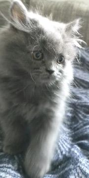 Sehr süße männliche Katze 10