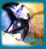 Atenae Katze geb ca 04