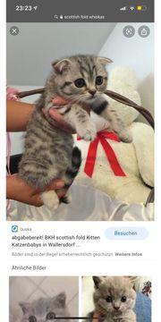 SUCHE BKH Scottish Fold Katze