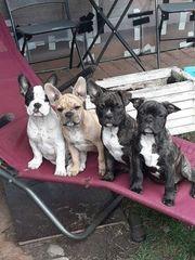 Frabzösische Bulldoggen Welpen