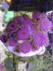 Meerwasserkorallen aus eigener Zucht zu