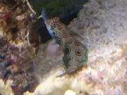 Meerwasser Lippfisch Mandarinfisch Garnelen
