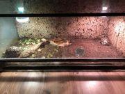 Indische sternschildkröte geochelone elegant