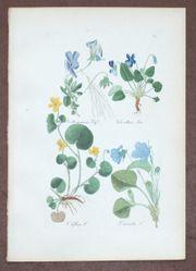 Veilchen-Kupferstich-1875