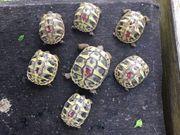 Griechische Landschildkröten Nachzucht 2019 2020