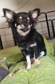 Chihuahua Hündin mit Ahnentafel