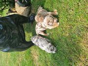 Old english bulldog OEB Merle
