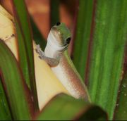 0 01 Lygodactylus conraui